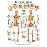 3B Scientific Planche Anatomique Le Squelette Humain plastifié...