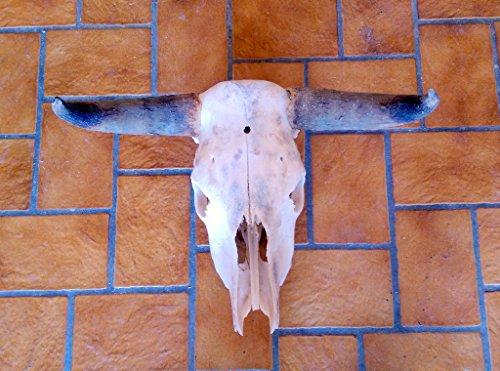 Original Rinderschädel, Skull, Bullshead, Wandfigur, Longhorn, Stierschädel, Natur, mit echten natur Hörnern, sowie Wandhalterung, für die Grillecke, ein echtes Männer Geschenk
