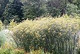 Foeniculum vulgare 'Rubrum' - 3 Pflanzen im 0,5 lt. Vierecktopf
