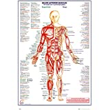 empireposter 740854 Educational – The Human Body Anterior Muscle Anatomía Los Músculos – Póster, papel, multicolor, 91,5 x 61 x 0,14 cm