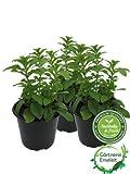 Stevia - Süßkraut - Stevia Rebaudiana 3 Pflanzen