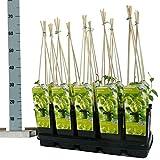 Blumen-Senf Hopfen Humulus lupulus Nordbrau 60 cm/Topf Ø 15 cm - starkwachsende Kletterpflanze
