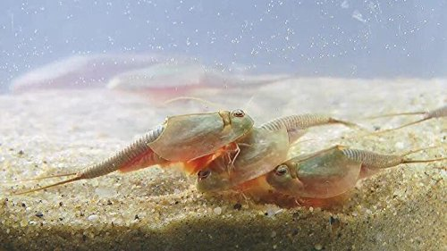 Triops Longicaudatus Tadpole Starter Kit 50 eggs 1