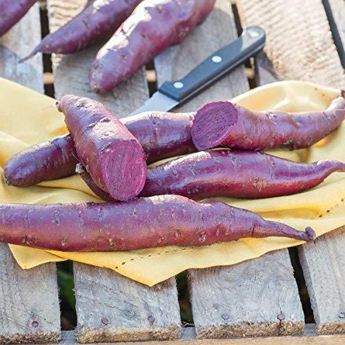 Volmary Süßkartoffel Erato® 'Violet' | Veganes Trendgemüse | für Beet und Töpfe | 1 Pflanze
