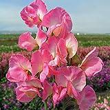 Premier Seeds Direct SWP16F Suesse Mammut Pinke Blumen Erbsen enthaelt 50 Samen