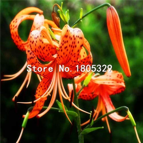 Pinkdose Perte Promotion Un paquet de 50 pièces/paquet points jaunes coeur rouge blanc Fleur de lys Graines Bonsai Balcon Cour plante Lily Fleurs: 4