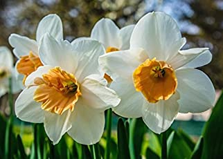 Gate Garden Nargis or Narcissus flower Bulbs, Soft Yellow Blooms with Light Fragrance Indoor/outdoor (Pack of 5)