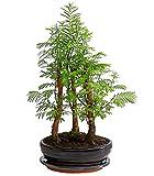 Dehner Urweltmammutbaum im Keramiktopf, weiche grüne Nadeln, ca. 25-35 cm, Outdoor-Bonsai