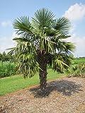 Trachycarpus fortunei - Chusan Palm, Chinese Windmill Palm
