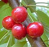 Grüner Garten Shop Kirschbaum Lapins sehr große selbstfruchtbare Süßkirsche Buschbaum kleinbleibend, Unterlage GiSelA5
