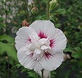 Garteneibisch China Bird - Scharonrose - Hibiscus syriacus China Bird (40-60)