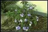 152005 Brunfelsia Pauciflora Eximia (Yesterday Today & Tomorrow) A4 Photo Poster Print 10x8