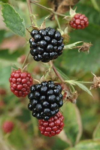 Blackberry Plant, Loch Tay 2 Litre Pot