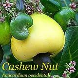 #10: M-Tech Gardens Anacardium occidentale (Cashew nut Apple) Evergreen Tropical Fruit 1 Live Plant (Grafted - MTECH01)