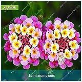 IDEA HIGH Seeds-ZLKING 20 STÜCKE Lantana Camara Hausgarten Blume Bonsai Heilpflanze Qualität Hohe Keimungsrate