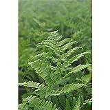 Sumpf-Lappenfarn, Thelypteris palustris, P 0,5