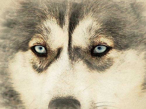 Perro de Trineo