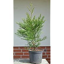 Seedeo® Berg - Mammutbaum (Sequoiadendron giganteum) Pflanze 5 Jahre
