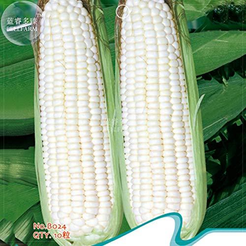 Go Garden Bellfarm Bonsai Rare Purement blanc Waxy de maïs pour le bonsaï, le maïs géant organique grand pour aimer jardin haute Germination -10pcs / Pack