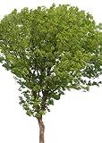 Echter Mahagoni-Baum 10 Samen -liefert das wertvolle Handelsholz-