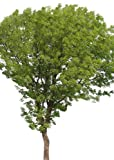 "Echter Mahagoni-Baum 10 Samen -liefert das wertvolle Handelsholz-""Swietenia mahagoni"""
