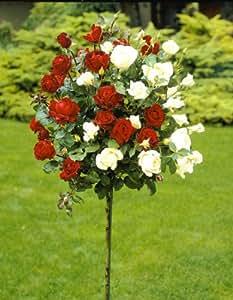 Dominik Blumen und Pflanzen, Rosenstämmchen Blütenmeer, 1 Pflanze kleinblütig rosa blühend