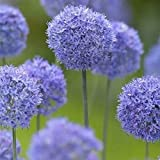 UPSTONE Garten - Riesen Zierlauch Sternkugel Lauch Allium giganteum Blumenlauch mehrjährig winterhart (20, Blau Star)