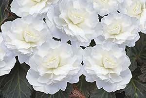 Fiore - Begonia - Nonstop Mocca Intenso Bianco F1 - 250 Semi - Confezione Maxi