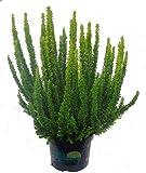 Calluna 'Skyline'- Besenheide, Heidekraut 12 cm Topf - winterhart, mehrjährig, immergrün, sieht das ganze JAhr schön aus. Als Balkonpflanze und Beetpflanze, Blüte ab Oktober