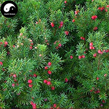 ASTONISH Erstauner SEEDS: Kaufen Taxus Baumsamen 30pcs Pflanze Eibe Hong Dou Shan