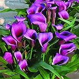 KINGDUO 50 Stk Calla Lilie Samen Garten Balkon Topfpflanzen Mehrjährige Blumen Samen Bonsai Ivy Blumen-Lila