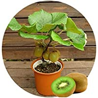 semillas de la fruta de kiwi, plantas en macetas, MIN Nutrición árbol es rica, hermosa, bonsais, semilla de melón de verduras - 10 PC / porción