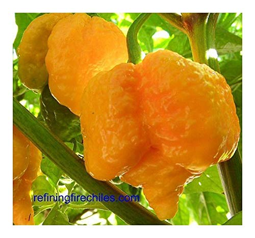 Chili Trinidad Yellow 7 Pod - piment - 5 graines