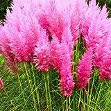 Pinkdose 500 PC/bag New Rare Beeindruckend Lila, Rot, Gelb Pampas-Gras Bonsai Terrasse und Garten Topf Zierpflanzen New Blumen: Sonstiges