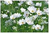 Lot de 50 graines de Cosmos bipinné à grandes fleurs nains Sonata White - annuelles