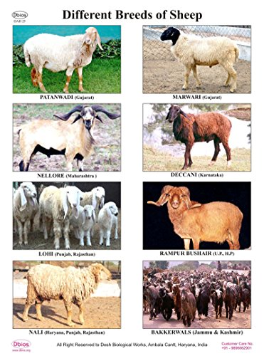 dbios-digitally-printed-different-breeds-of-sheep-laminated-poster-educational-wall-charts