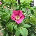 Apfelrose, Kartoffelrose, Hagebutte - Rosa rugosa 40-60 cm, ab 3 Triebe von Gartengruen24 auf Du und dein Garten