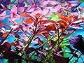 Bund Ludwigia Glandulosa, Ludwigie,farbige Pflanze von 237 bei Du und dein Garten