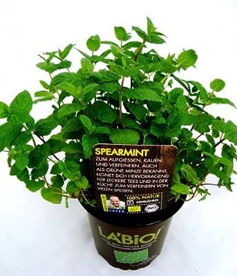 Bio Spearmint-Grüne Minze Kräuterpflanze von LÀBiO! Kräuter - Du und dein Garten