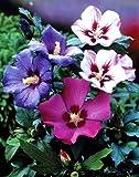 Roseneibisch. (Hibiskus syriacus). weiß blühend. 1 Strauch. C 2 30/40 - zu dem Artikel bekommen Sie gratis ein Paar Handschuhe für die Gartenarbeit dazu