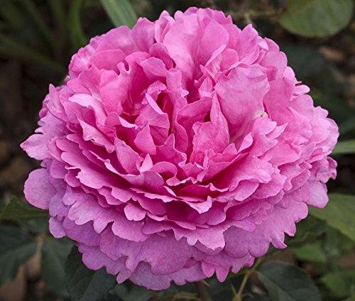 yves-piaget-bareroot-hybrid-tea-garden-rose-bush-highly-fragrant-mauve-pink-frilled-edged-blooms-rep