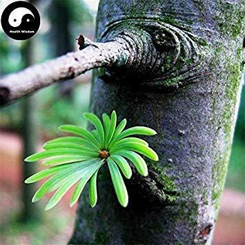 ASTONISH Erstauner SEEDS: Kaufen Pseudolarix Amabilis Baumsamen 30pcs Pflanzen-Kiefern-Bonsai China Jin Qian Lied