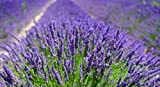 10 x Lavendelsäckchen mit echtem französischen Lavendel - 3