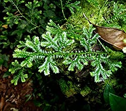 FERRY HIGH GERMINATION SEEDS ONLY NOT PLANTS: Selaginella Kraussiana Krauss'S Club Mini Terrarium House Seeds Groundcover