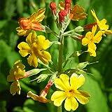 Blumixx Stauden Primula bulleyana - Etagen-Primel, im 0,5 Liter Topf, orangegelb blühend