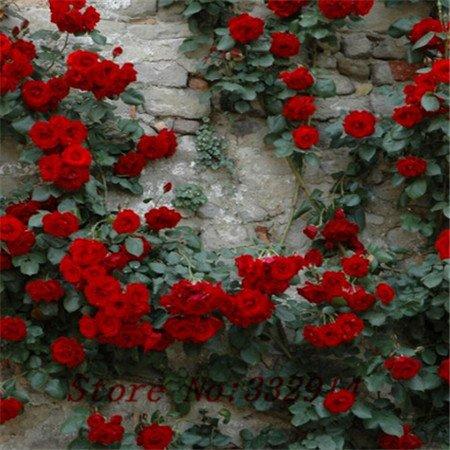 Vente! 100 pcs / lot. Chinese Purple Rose semences Bonsai. Belle fleur et facile à cultiver ..