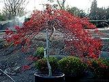 Acer Palmatum Dissectum Inaba Shidare vaso Ø 24 altezz 120 cm (pianta adulta)