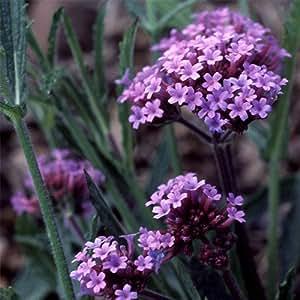 Plant World Seeds - Verbena Bonariensis Seeds