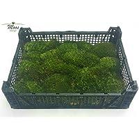 Musgo de yacija como sphagnum, terrario - suelo para reptiles (1 caja de bolas)