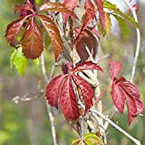 Kletterpflanze Mauerwein Engelmannii 60-100cm im 2L Topf gewachsen